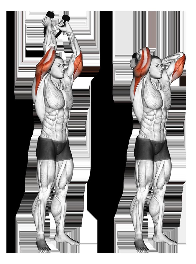 Image extension des triceps à la poulie haute Purshape