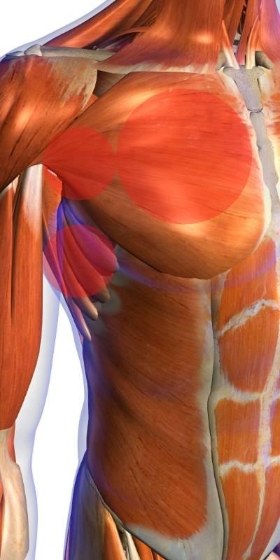 Les principaux muscles qui composent les pectoraux